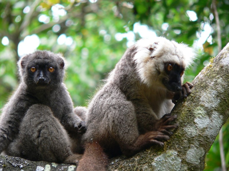 Wooly lemurs in Madagascar